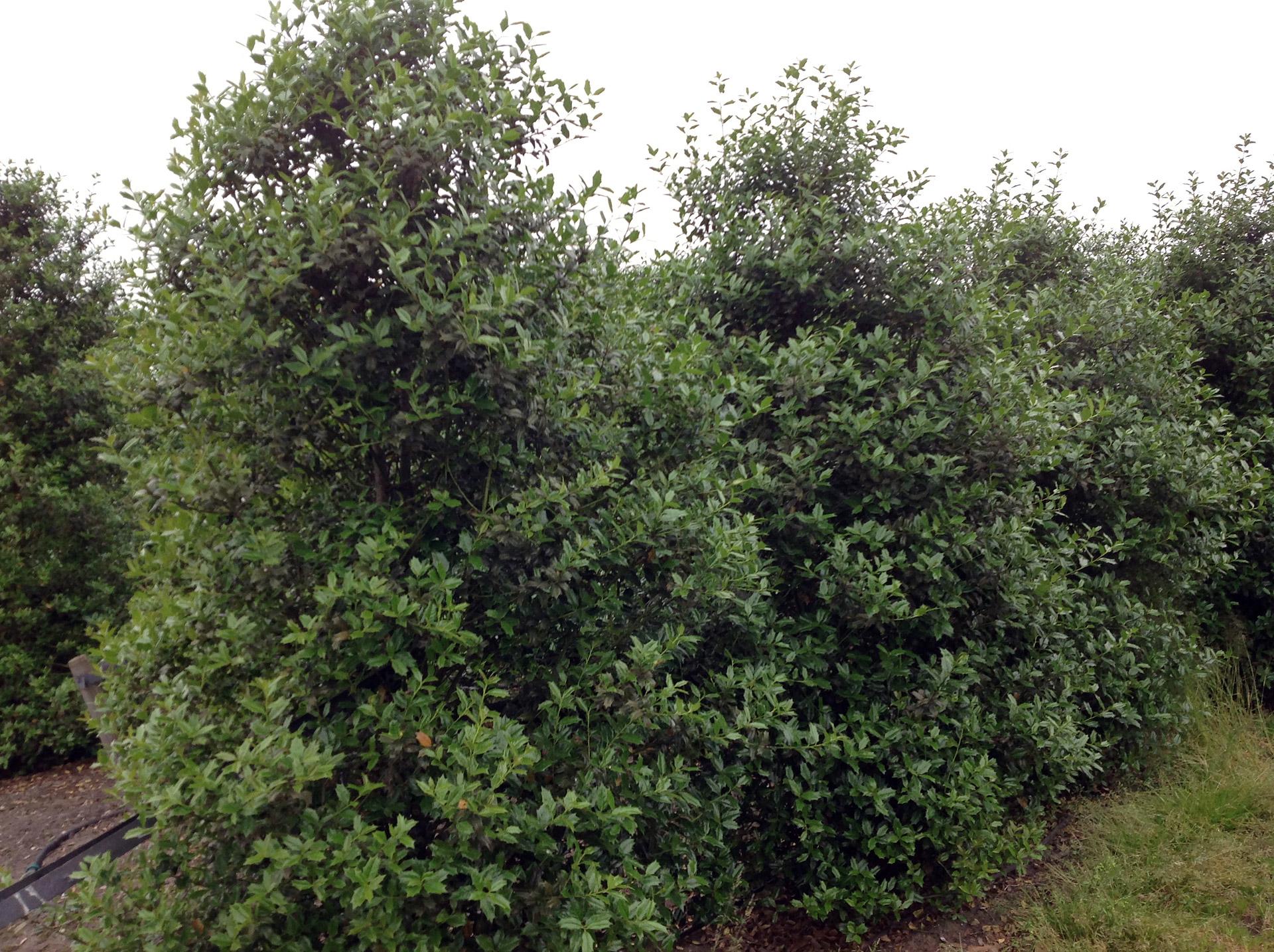 siegbert-van-reeth-boomkwekerij_plantas_0013