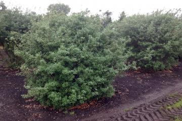 siegbert-van-reeth-boomkwekerij_plantas_0255